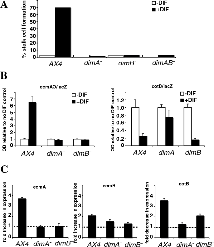 Fig. 5. dimB– mutant cells fail to induce prestalk markers and stalk cells in response to DIF-1. (A) Stalk cell induction was measured in response to DIF-1 in the cAMP removal assay. The assay was repeated at least three times and a representative example is shown. Wild-type cells (AX4) differentiated as stalk cells, whereas mutants defective either in dimA or in dimB, or in both (dimAB–) failed to do so. (B) In the dimB– mutant, a prestalk reporter (ecmAO/lacZ) was non responsive to DIF-1, whereas a prespore marker (cotB/lacZ) was repressed as in the wild type. The results are means of three experiments where each assay was performed in triplicate. (C) The dimB– mutant did not show rapid induction of prestalk gene expression (ecmA or ecmB) in culture, although the prespore gene (cotB) was repressed. After treatment with cAMP for 9 hours, samples were incubated with or without DIF-1 for 3 hours. Expression levels were normalized to IG7 and compared with or without DIF-1. In the case of ecmA and ecmB, fold increase is shown, and for cotB fold decrease. Broken line indicates no change.