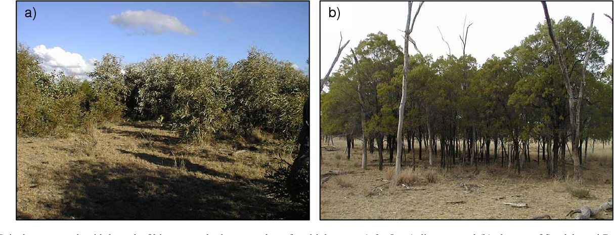 Fig. 1. (a) Brigalow regrowth with large leaf biomass and a large number of multip mitchelli) supporting similar leaf biomass but fewer stems of greater diameter.