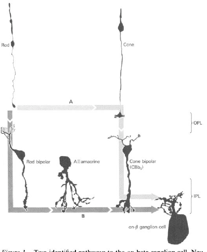 Figure 1 from architecture of rod and cone circuits to the on beta two identified pathways to the on beta ganglion cell neurons are ccuart Gallery