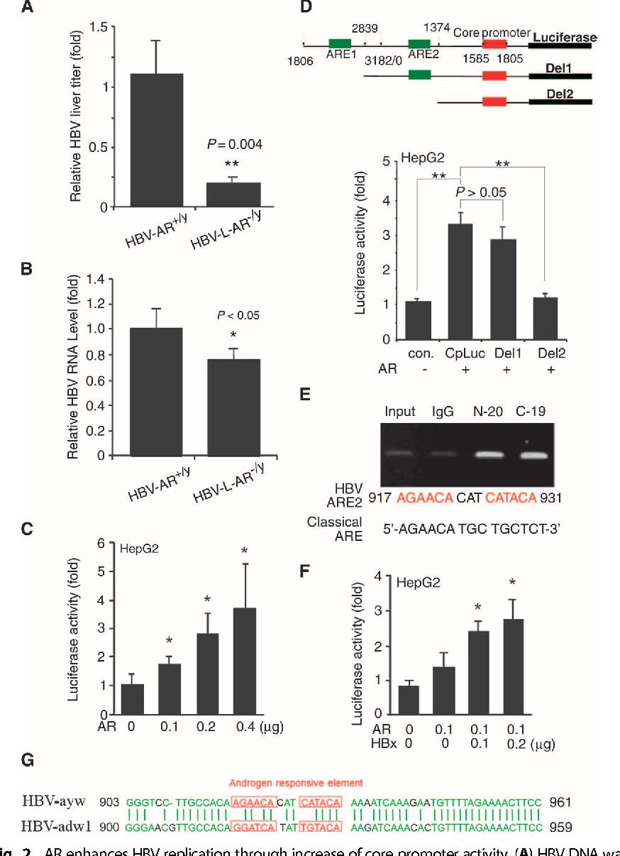 Fig. 2. AR enhances HBV replication through increase of core promoter activity. (A) HBV DNA was −/y +/y
