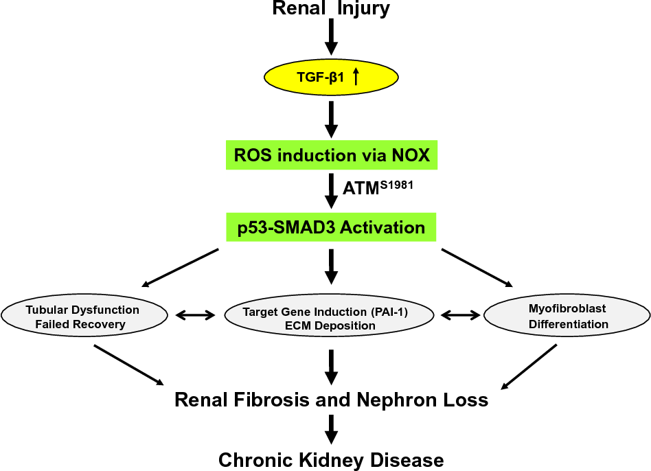 Figure 4 from TGF-β1/p53 signaling in renal fibrogenesis  - Semantic