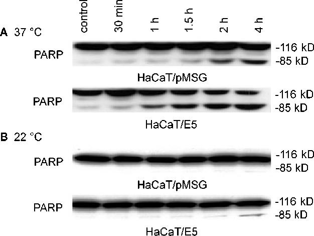Figure 7 from The human papillomavirus type 16 (HPV-16) E5 protein