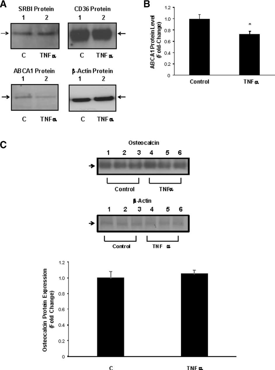 Fig. 2 Effect of TNF a on osteocalcin, SRB1, ABCA1, and CD36 expression in MLOY4 cells. a MLO-Y4 cells were treated with solvent or 50 ng/ml TNF a for 24 h, and SRB1, ABCA1, and CD36 expression were measured by Western blotting. Treatment with TNF a had no effect on SRB1 or CD36 expression. b Quantitation of ABCA1 expression in control and TNF a-treated MLO-Y4 osteocytes. Treatment with TNF a significantly decreased ABCA1 expression. N = 3; *p\ 0.001 relative to control cells. c MLO-Y4 osteocytes were treated with 50 ng/ml TNF a for 24 h and osteocalcin levels were measured and normalized to b-actin levels. Treatment with TNF a had no effect on osteocalcin expression