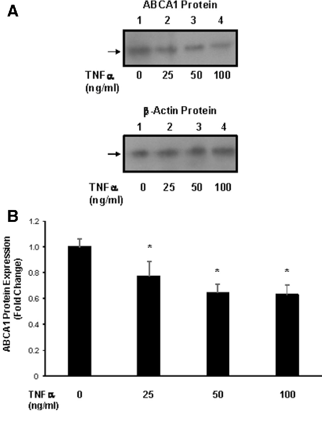 Fig. 3 Effect of TNF a on ABCA1 expression: dose response. a MLO-Y4 cells were treated with 0, 25, 50, and 100 ng/ml TNF a for 24 h, and ABCA1 levels were measured by Western blot and normalized to b-actin expression. b Quantitation of ABCA1 expression in MLO-Y4 cells treated with 0, 25, 50, and 100 ng/ml TNF a. Treatment with increasing amounts of TNF a suppressed ABCA1 expression in a dose-dependent manner. N = 3; *p\ 0.02, p\ 0.001, and p\ 0.001 relative to control cells