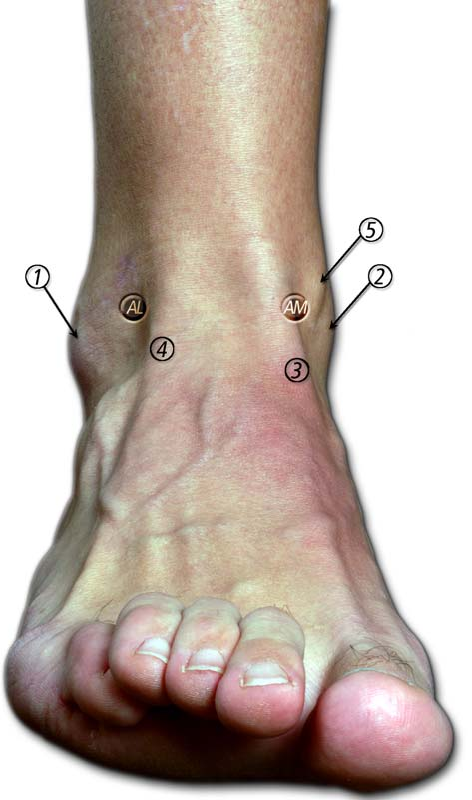 Figure 2 from Ankle anatomy for the arthroscopist. Part I: The ...