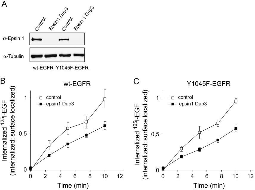 Figure 5: Knockdown of epsin 1 inhibits endocytosis of wt-EGFR and Y1045FEGFR. PAE cells stably expressing wtEGFR or Y1045F-EGFR were depleted of epsin 1 by siRNA-mediated knockdown using Dup3 according to the procedure described inMaterials and Methods. A) Cell lysates were subjected to western blotting using antibody to epsin 1 and tubulin (loading control). B and C) Cells transfected with or without siRNA to epsin 1 (as indicated) were incubated with 1 ng/mL 125I-EGF for the times indicated, and the rate of EGF internalization was measured as described in Materials and Methods. The data represent one independent experiment (of three) with four parallels SD.
