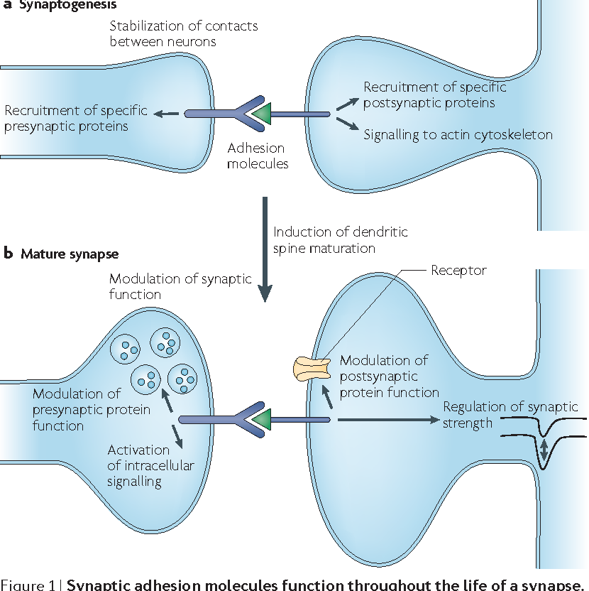 Cell Adhesion Molecules Signalling Functions At The Synapse