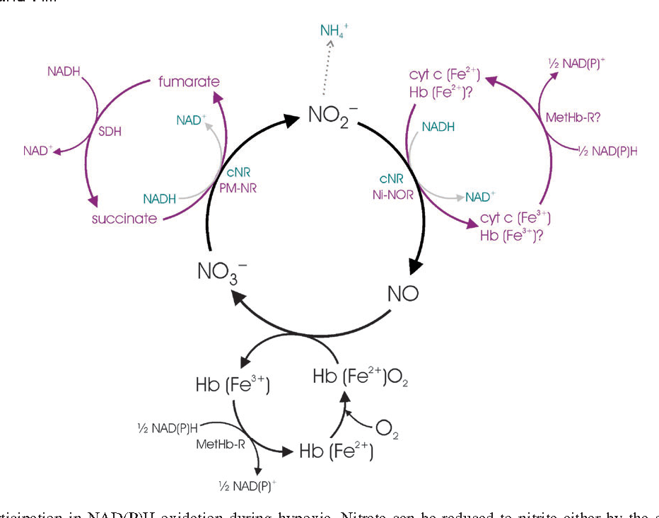 Figure 2 From Nitrate No And Haemoglobin In Plant Adaptation To