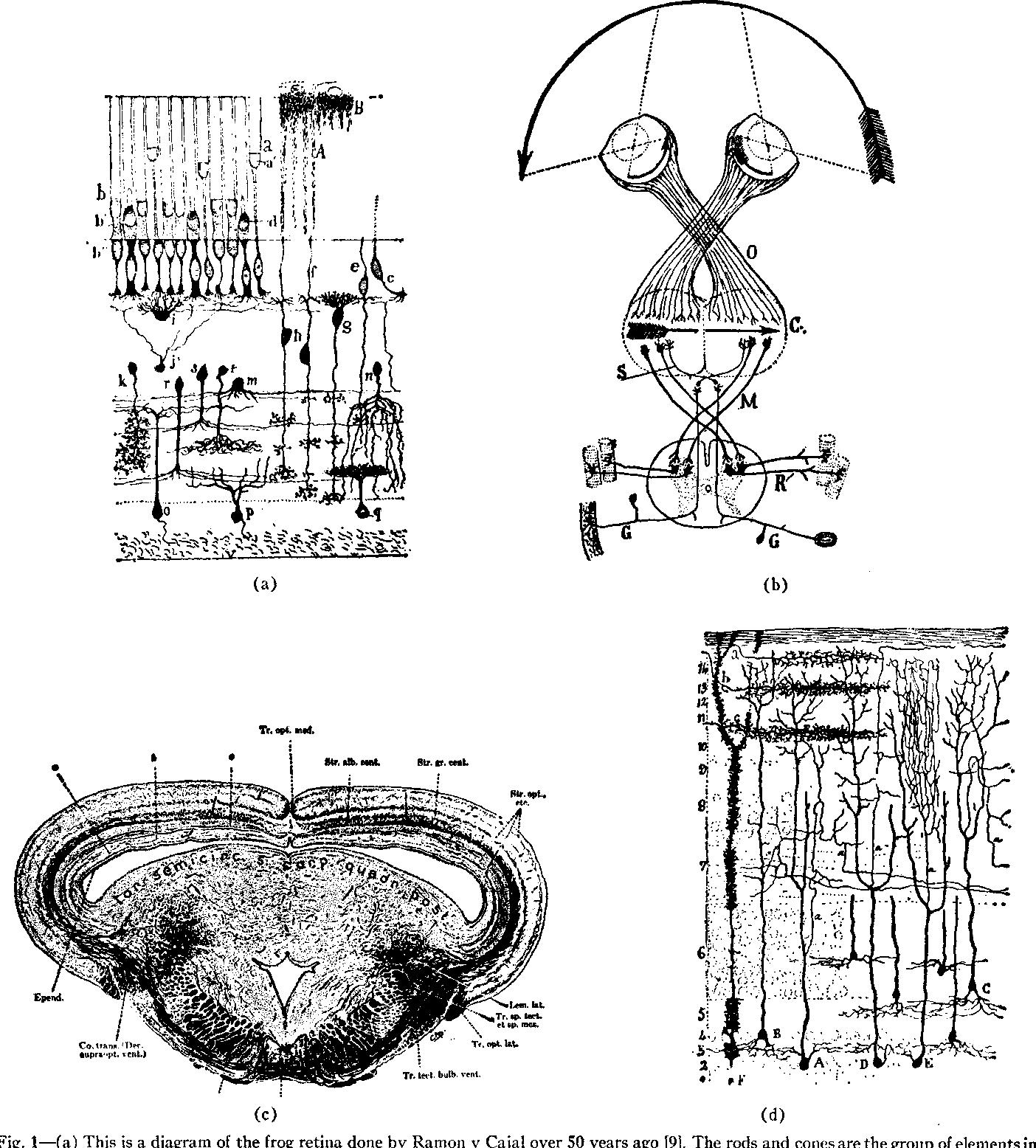Eyes Frog Brain Diagram - Wiring Diagram •
