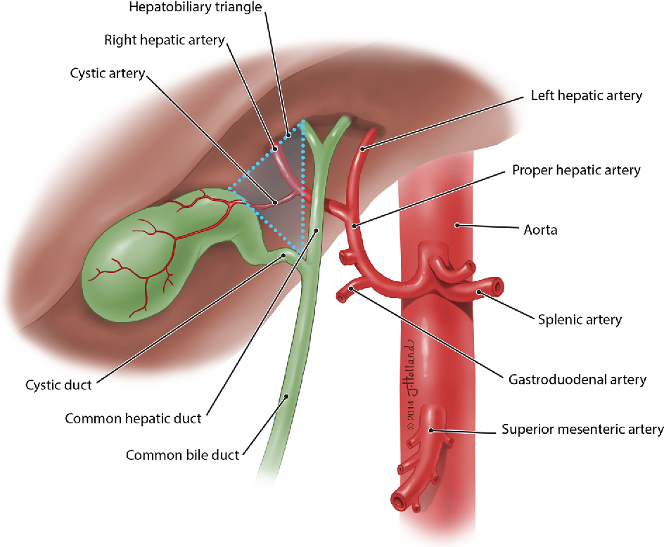 The clinical anatomy of cystic artery variations: a review of over ...