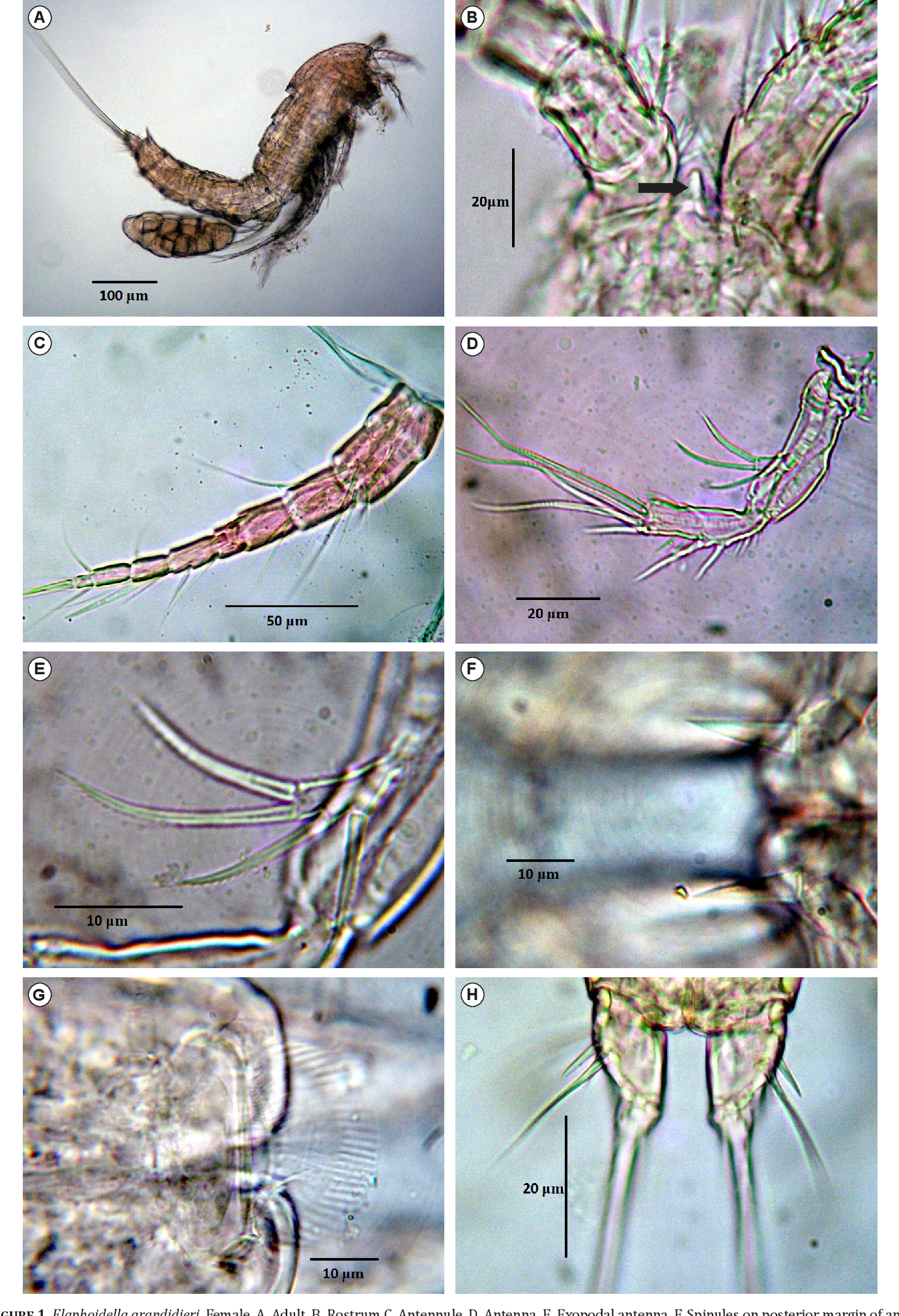 Figure 1 from Occurence of Elaphoidella grandidieri (Guerne