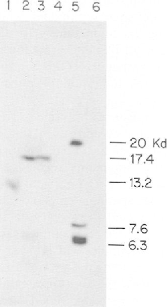 Fig. 5. Western blot analysis of trypsinized intact thylakoid membranes using antibodies against CP43-1 to CP43-6 corresponding to lanes 1-6.