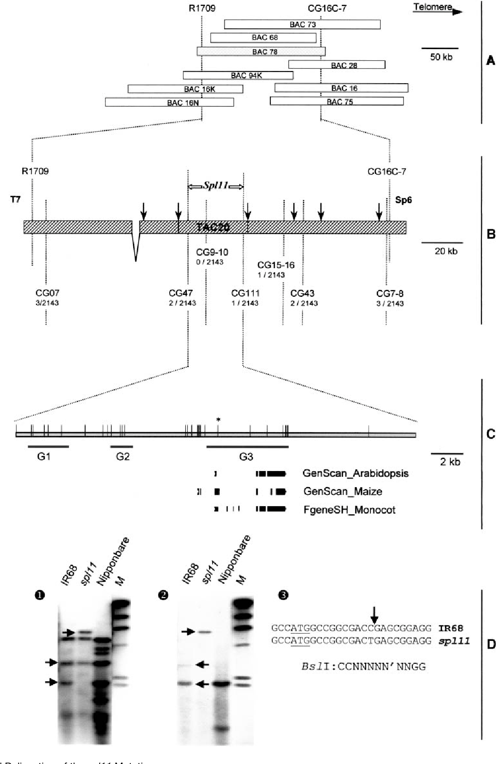 Figure 1. Physical Delineation of the spl11 Mutation.