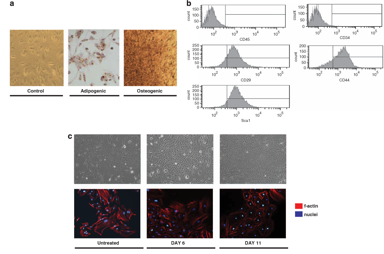 Figure 1 Multilineage potential and mesenchymal stem cell phenotype of mouse ASCs. (a) Oil red staining after 15 days of culture in adipogenic media (left panel). A representative image from five independent experiments is illustrated. Magnification 20. Alizarin red staining after 20 days of culture in osteogenic media (right panel). A representative image from five independent experiments is illustrated. Magnification 20. (b) ASCs were positive for Sca-1, CD44 and CD29, and negative for CD34 and CD45, confirming their mesenchymal origin. (c) Morphological representation of mesenchymal-to-epithelial transition. Phase-contrast images representative of ASC morphology change during the differentiation protocol. ASCs were left untreated or differentiated with ATRA for 6 or 11 days (upper panel). Representative images from four independent experiments are illustrated. Magnification 20. Phalloidin staining of f-actin cytoskeleton (in red) contributes to visualize the epithelial-like morphology (day 11) in contrast to the more fibroblast-like morphology of untreated, undifferentiated cells. Nuclei were stained with DAPI (in blue) and images obtained by fluorescence microscopy. A representative picture from four independent experiments is shown. Magnification 40