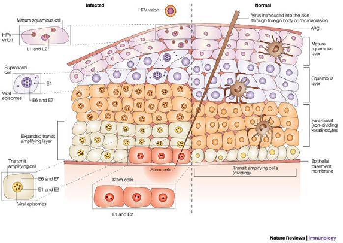 Molecular Diagnosis Of Human Papillomavirus Infections