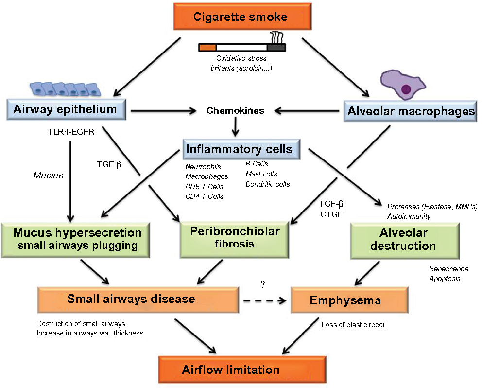 Dysfunctional lung anatomy and small airways degeneration in COPD ...