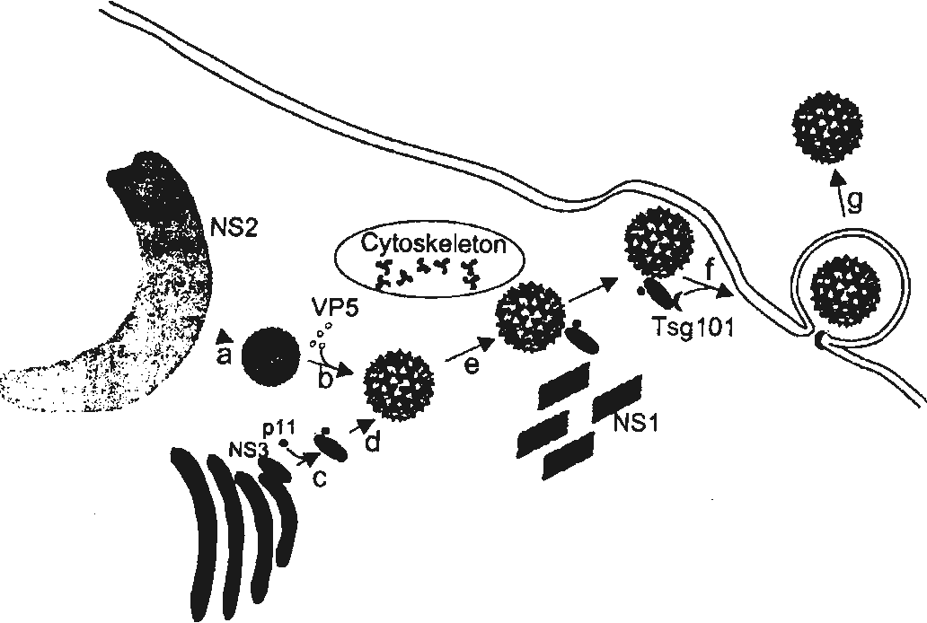 PDF] Interaction of nonstructural protein NS3 of African