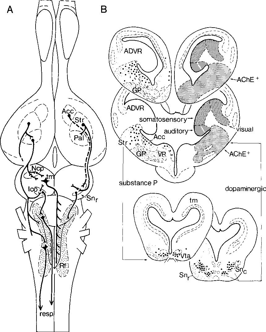 The Brain Stem in a Lizard, Varanus exanthematicus - Semantic Scholar
