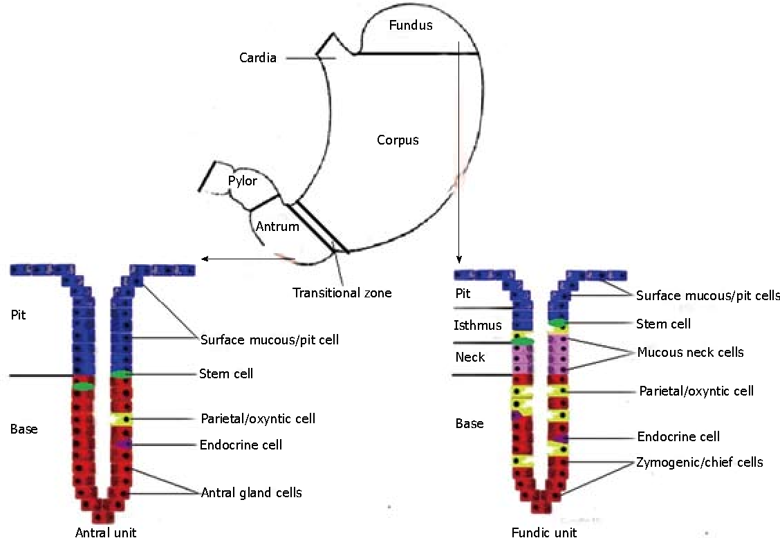 Figure 1 From Gastric Carcinogenesis Semantic Scholar Picture Of Schematic And Explanation Operation Fundic Antral Units