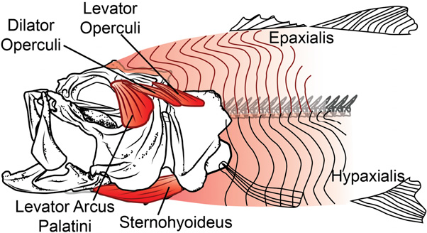 Figure 1 from Swimming muscles power suction feeding in largemouth ...