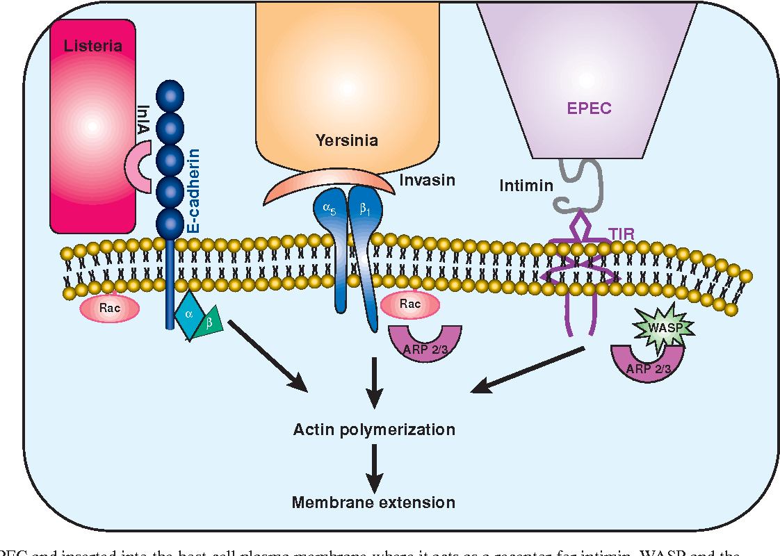 Fig. 3. Various bacterial pathogens and their mechanisms for stimulating membrane protrusion. Listeria monocytogenes adheres to host cells via the binding of a bacterial surface protein, internalin A (IlnA) to Ecadherin. E-cadherin, via Rac activation, can trigger dynamic events of actin polymerization and membrane extension, culminating in bacterial uptake. Yersinia expresses invasin on its surface, which binds with high affinity to α5β1 integrins. Yersinia uptake requires Rac1 and the Arp2/3 complex. EPEC attach to host cells through translocated intimin receptor