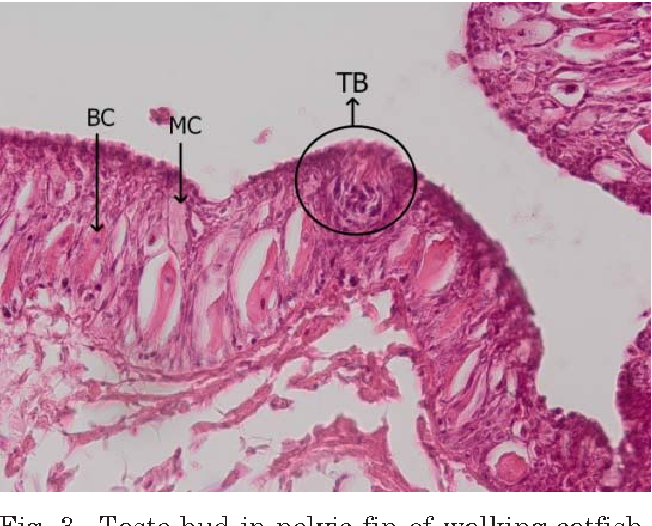 Figure 3 from Distribution of External Taste Buds in Walking Catfish ...
