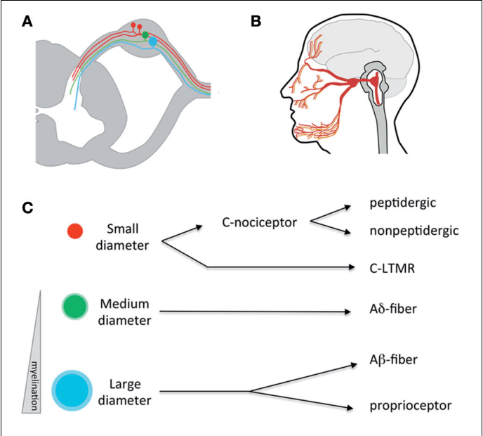 The Functional And Anatomical Dissection Of Somatosensory