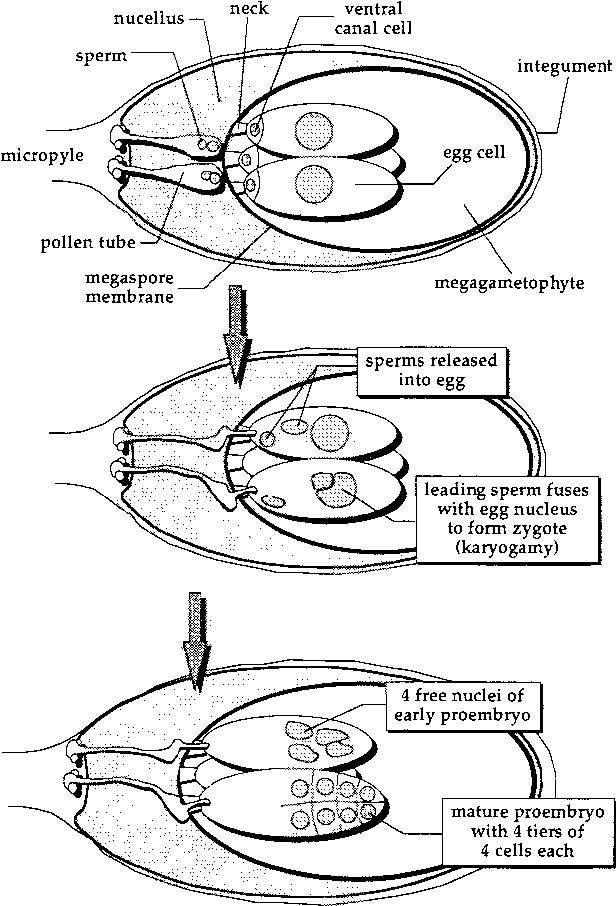 Figure 1 From Sexual Reproduction Of Interior Spruce Pinaceae