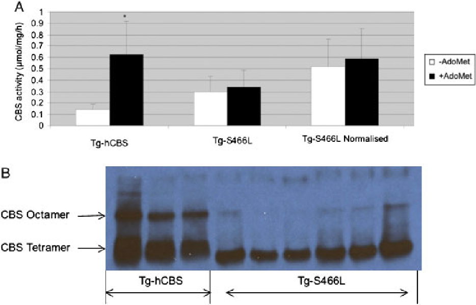 FIGURE 4. Examination of p.S466L and wild-type CBS enzyme activity and multimers formation. A: Enzyme activity and AdoMet response of wild-type and p.S466L CBS.The ¢rst set of columns shows CBS activity in liver extracts derived fromTg-hCBS mice in the absenceandpresenceofAdoMet (n53).Thesecondsetof columns shows the same forTg-S466Lmice (n56).The third set shows the relativeTg-S466L activity when adjusted for total p.S466Lprotein as judged byWestern blot analysis. B:Comparison of theCBS protein inTg-hCBS and expressingTg-S466Lmice livers using native gels followed byWestern blot analysis.