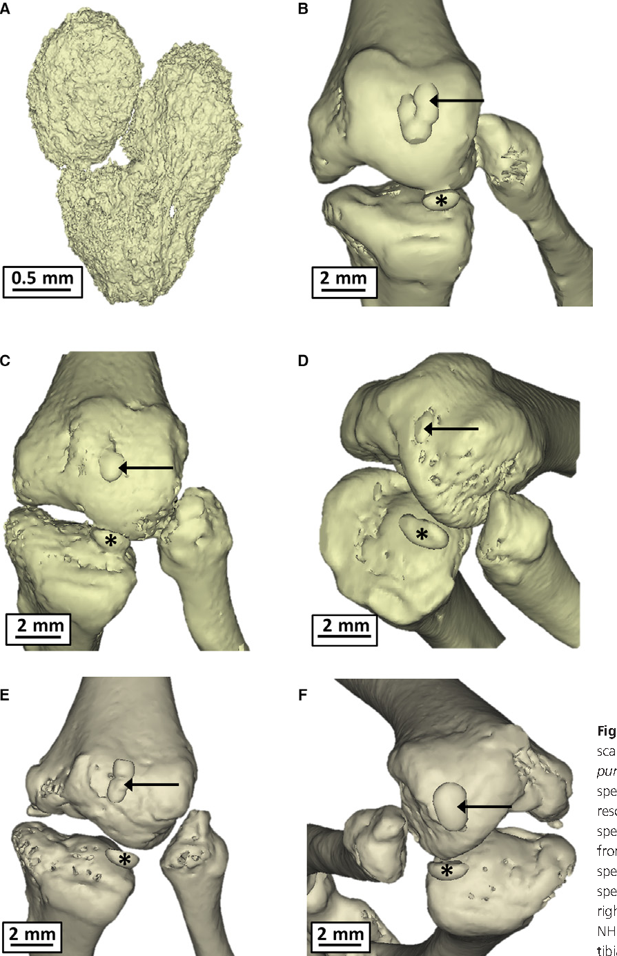 Anatomy, morphology and evolution of the patella in squamate lizards ...