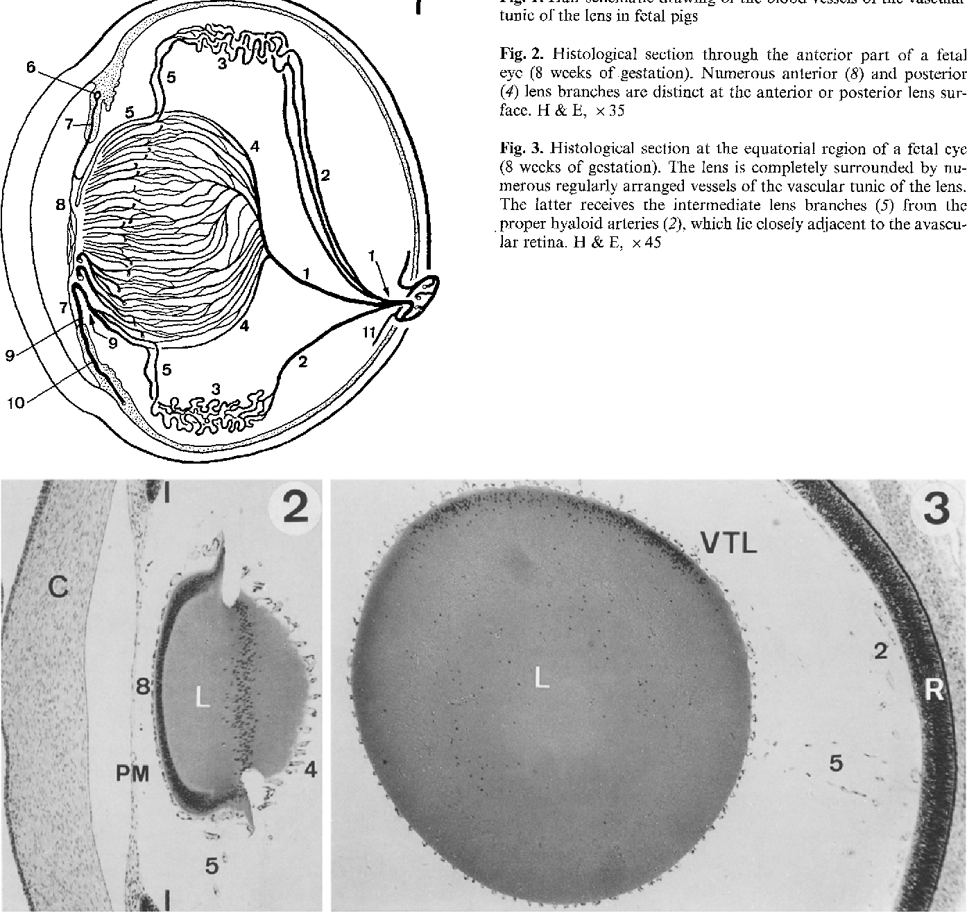 The hyaloid vascular system of the pig - Semantic Scholar