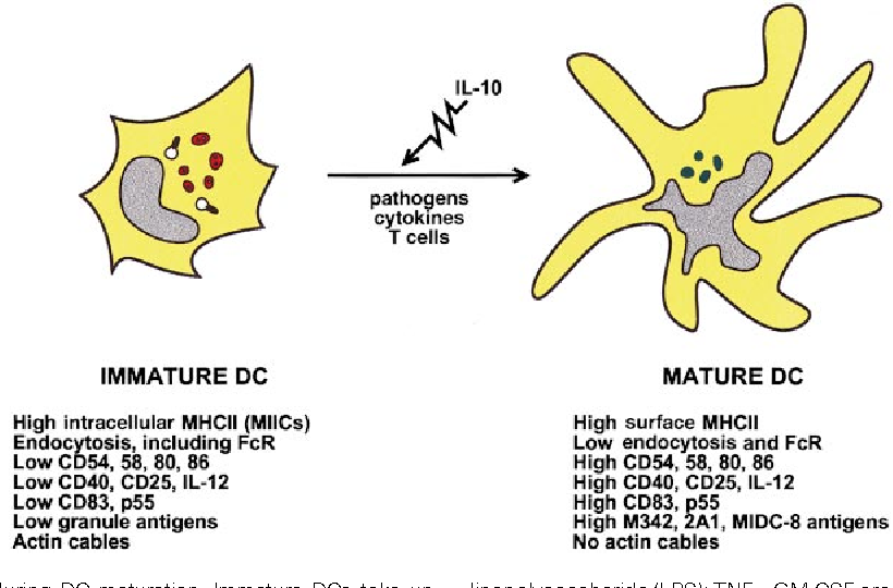 Figure 4 From Dendritic Cells And The Control Of Immunity Semantic