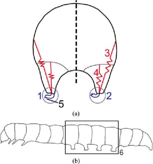 Fig. 2. (a) Diagrammatic section of caterpillar. (b) Lateral view of a Carpocapsa pomonella [24].