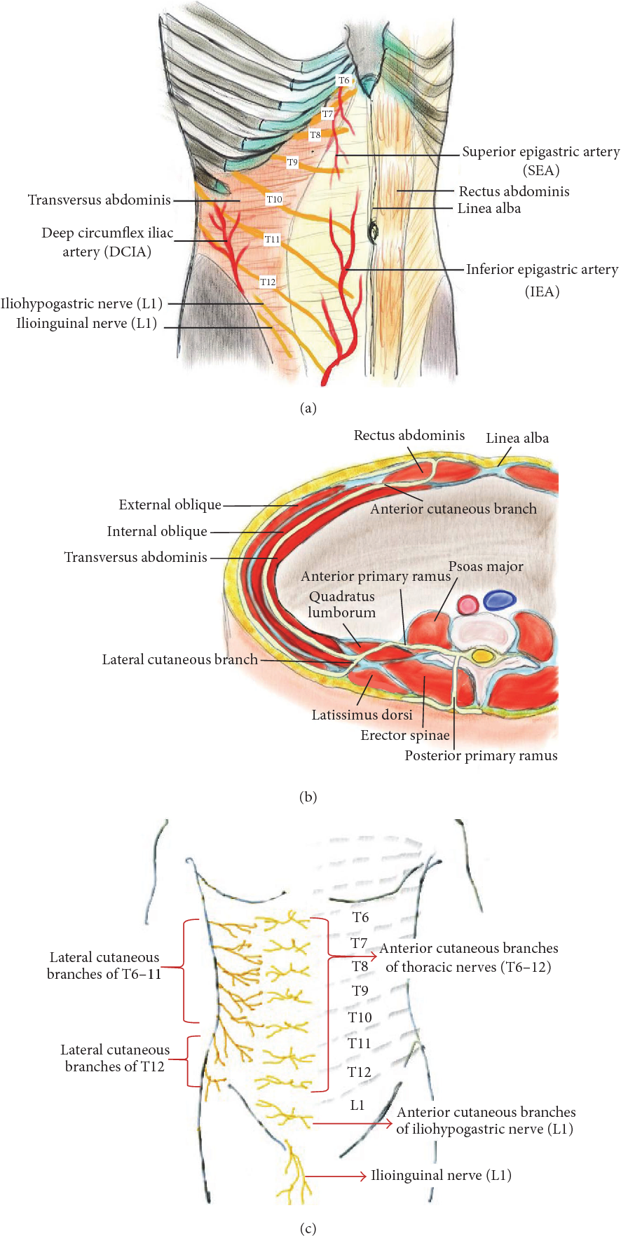 Transversus Abdominis Plane Block: An Updated Review of Anatomy and ...