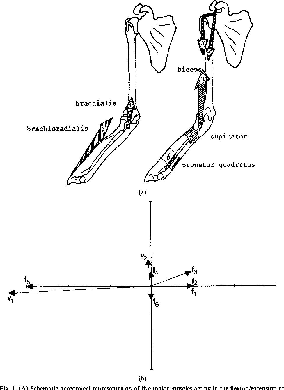 Niedlich Anatomie Mnemotechnik Muskeln Bilder - Anatomie Von ...