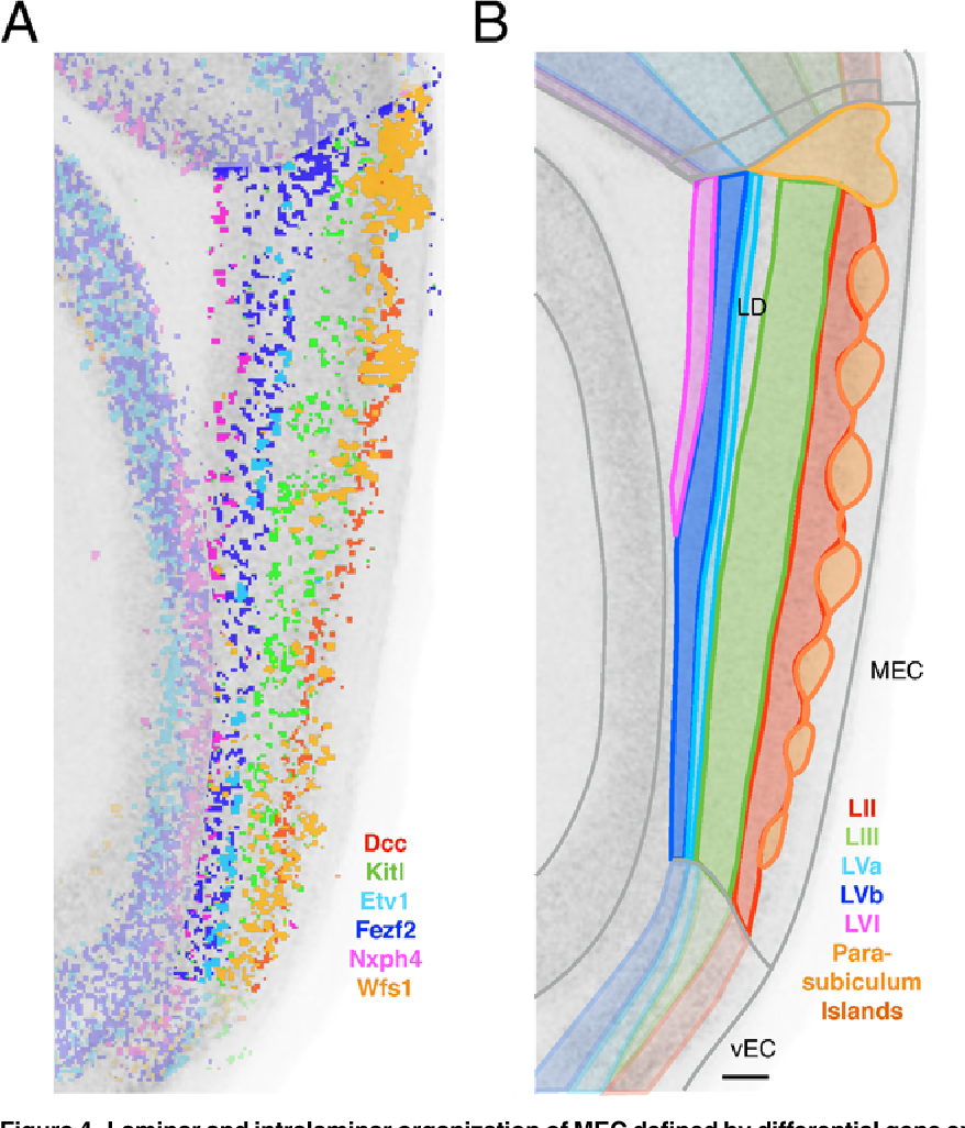 Figure 4 from Laminar and Dorsoventral Molecular Organization of the ...