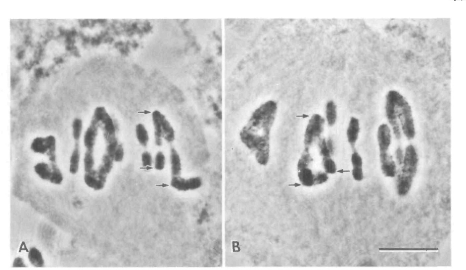 Fig. 5. Late metaphase in two Warramaba spermatocytes. The trivalents (arrows at kinetochores) congressed to the spindle equator along with the bivalents. Bar, 10 /an.
