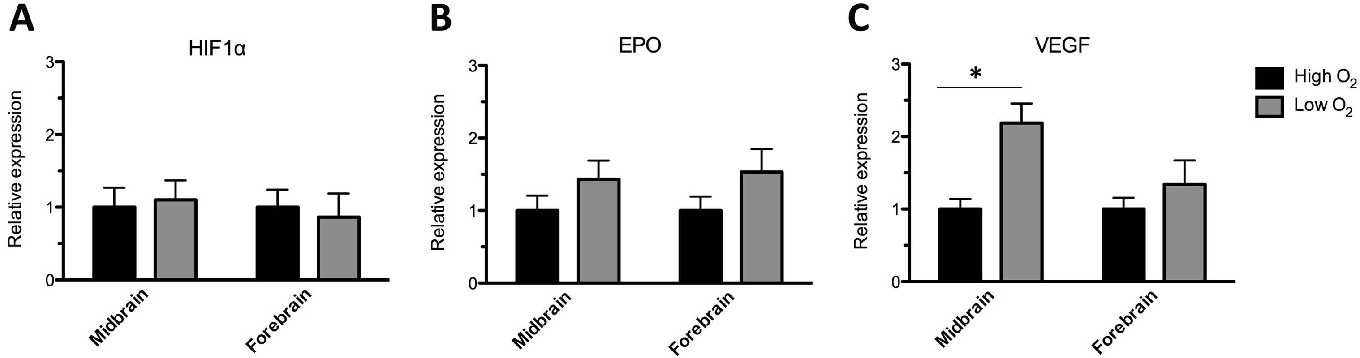 Figure 6. Q-PCR analysis of the expression of hypoxia inducible factor 1alpha (HIF-1a), Erythropoietin (EPO) and vascular endothelial growth factor (VEGF). Q-PCR analysis was performed for midbrain and forebrain cultures differentiated for 10 days in vitro (DIV) (sequential addition of FGF8, Shh, GDNF, and Forskolin) at either high (20%) or low (3%) oxygen tension. Analysis of HIF-1alpha mRNA revealed no significant difference between midbrain or forebrain cultures differentiated at high or low oxygen tension (A). Analysis of EPO mRNA revealed a strong tendency for a higher level in midbrain and forebrain cultures differentiated at low as compared to high oxygen (B). A significantly higher level of VEGF mRNA was found in midbrain cultures differentiated at low as compared to high oxygen, whereas no significant difference was found between forbrain cultures grown at low as compared to high oxygen tension however, there was a tendency for higher expression of VEGF in the forebrain cultures differentiated at low oxygen (C). Data are expressed as means6SEM (12 replicates/group, two independent experiments, *P,0.05). doi:10.1371/journal.pone.0096465.g006