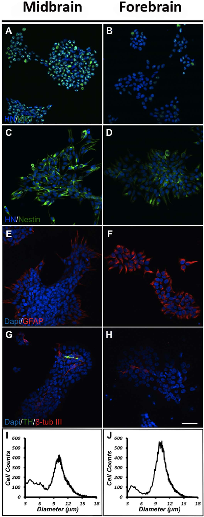 Figure 1. Characterization of proliferating cells. Human midbrain and forebrain neural stem cells (NSCs) were propagated (EGF and bFGF) for 3 days at high oxygen tension (20% O2) and immunostained for human nuclei (HN) and the proliferation marker Ki67 (A,B). For both cultures a high density of Ki67-immunoreactive (-ir) cells were seen, although at a higher density in midbrain as compared to forebrain
