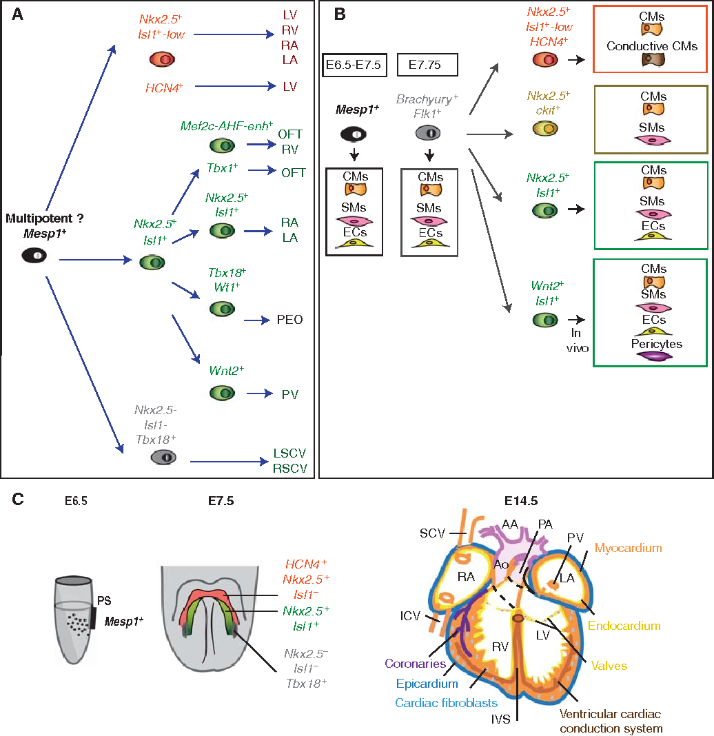Figure 1 From Cardiac Cell Lineages That Form The Heart Semantic