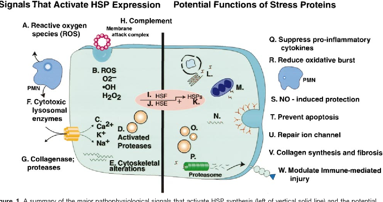 Figure 1 From Stress Heat Shock Proteins Molecular Chaperones In To The Left Is A Diagram For Generation Of Electricity Summary Major Pathophysiological Signals That Activate Hsp Synthesis