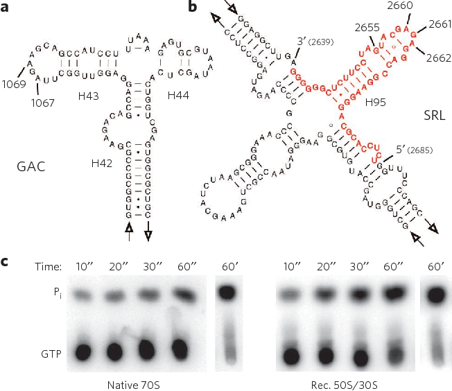 Figure 1   23S rRNA constructs and uncoupled EF-G GTPase activities of wild-type ribosomes. (a) Schematic representation of the secondary structure of T. aquaticus 23S rRNa helices 42–44 (H42–H44), also referred to as GaC. (b) Secondary structure of the SRl (H95) of T. aquaticus. To