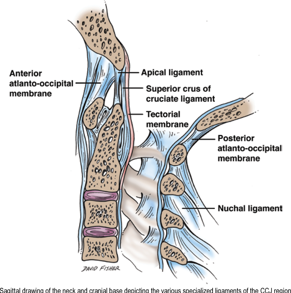 Figure 9 From Ligaments Of The Craniocervical Junction Semantic