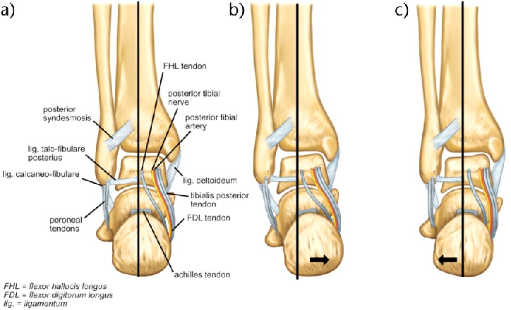 Figure 4 from The subtalar joint: A complex mechanism. - Semantic ...