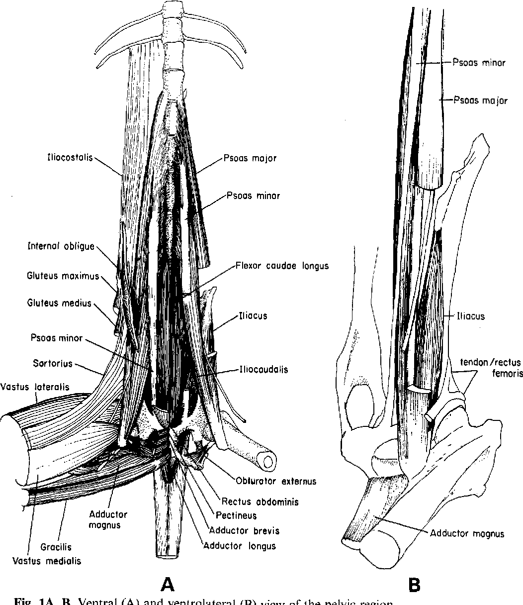 Gross anatomy of hindlimb skeletal muscles of theGalago senegalensis ...