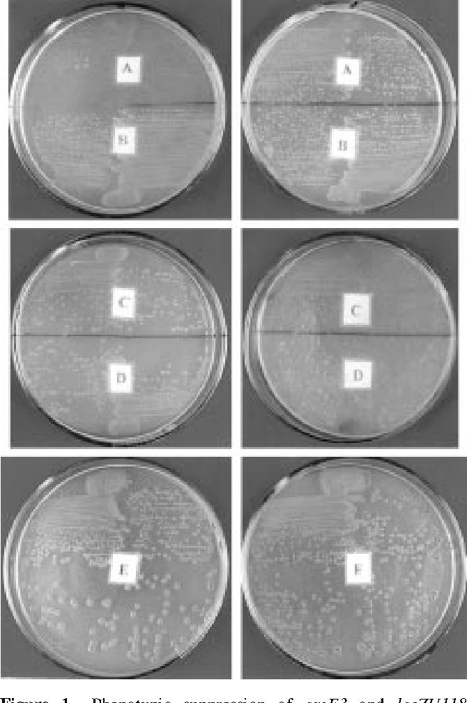 Figure 1. Phenotypic suppression of argE3 and lacZU118 mutations by streptomycin in some derivatives of AB1157. Top row: AB1157 rpsL (A) and AB1157 ppm rpsL (B) on arginineless medium supplemented with 0.5 mg/ml (left) and 2.0 mg/ml (right) of streptomycin. Middle row: AB1157 rpsL /F'lacZU118 (C ) and AB1157 mutS::Tn10 rpsL /F'lacZU118 (D) on glycerol mimimal medium + IPTG (10ÿ4 M ) + X-gal (20 mg/ml) in absence (left) and presence (right) of streptomycin (2 mg/ml). Bottom row: AB1157 ppm rpsL in glycerol minimal medium + IPTG (10 ÿ4 M) + X-gal (20 mg/ml) in absence (E) and presence (F) of streptomycin (2 mg/ml).