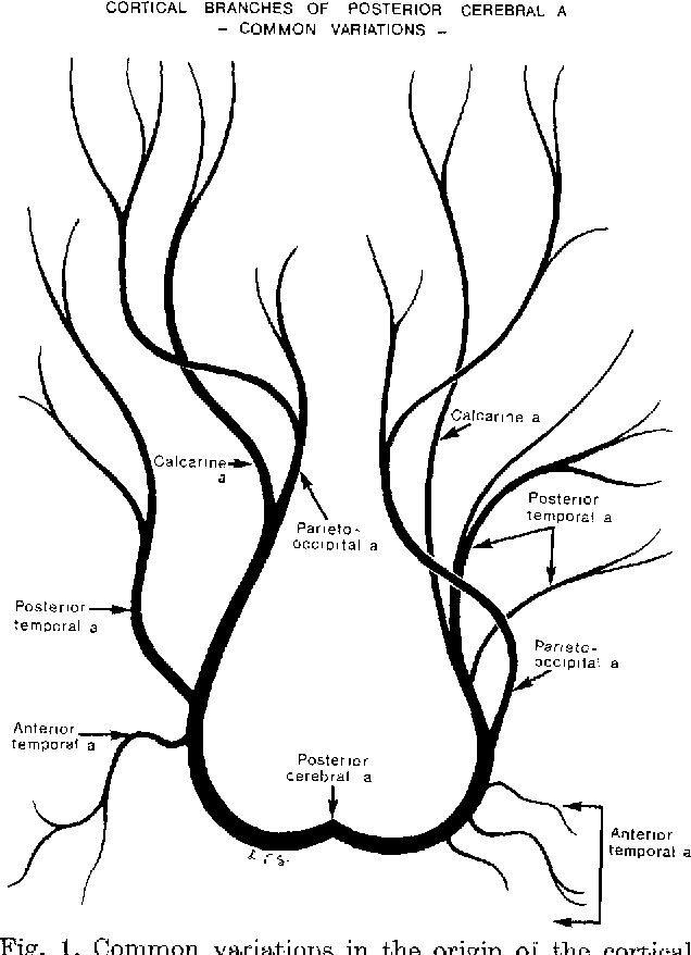 Figure I From Cortical Branches Of The Posterior Cerebral Artery