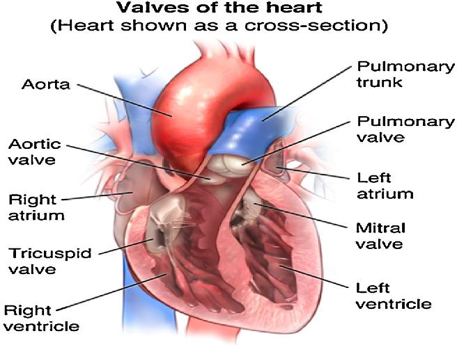 Nanofibrous bioengineered heart valve-Application in paediatric ...
