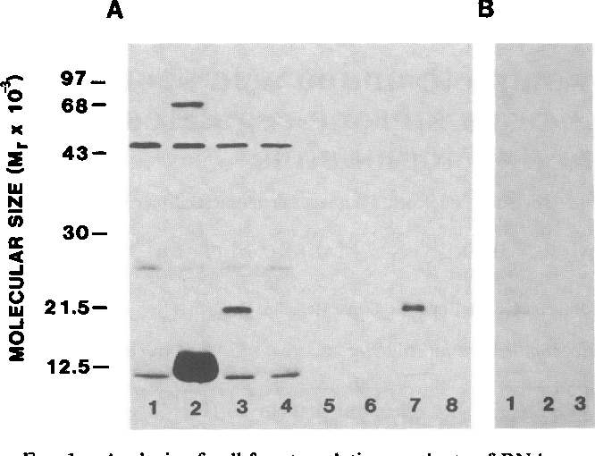 FIG. 1. Analysis of cell-free translation products of RNAs synthesized from pPP14-1 templates and of poly(A)-containing RNA from human decidua. (A) Capped RNAs corresponding to both strands of PP14 cDNA were translated in a rabbit reticulocyte lysate in the presence of [35S]methionine for 90 min at 30°C. The labeled peptides were subjected to electrophoresis on a NaDodSO4containing 10%o polyacrylamide gel before (lanes 1-4) and after (lanes 5-8) immunoprecipitation with anti-PP14 antiserum. Lanes 1 and 5, no exogenous RNA added; lanes 2 and 6, reticulocyte RNA (1 ,Ag); lanes 3 and 7, pPP14-la RNA (100 ng); lanes 4 and 8, pPP14-lb RNA (100 ng). (B) Polyadenylylated RNA was isolated from a firsttrimester decidual specimen and translated in vitro, and the immunoprecipitated translation products were analyzed by NaDodSO4/ PAGE as in A. Lane 1, decidual RNA (1 pmg); lane 2, reticulocyte RNA (1 ,g); lane 3, no exogenous RNA. The exposure times were 3 hr and 3 days for A and B, respectively.