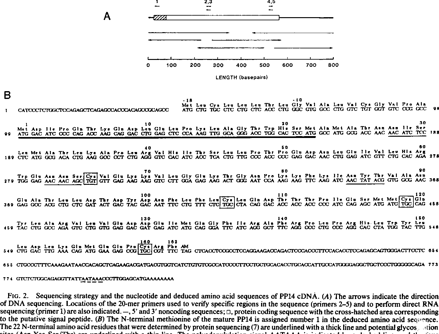 FIG. 2. Sequencing strategy and the nucleotide and deduced amino acid sequences of PP14 cDNA. (A) The arrows indicate the direction ofDNA sequencing. Locations of the 20-mer primers used to verify specific regions in the sequence (primers 2-5) and to perform direct RNA sequencing (primer 1) are also indicated. -, 5' and 3' noncoding sequences; o, protein coding sequence with the cross-hatched area corresponding to the putative signal peptide. (B) The N-terminal methionine of the mature PP14 is assigned number 1 in the deduced amino acid sequence. The 22 N-terminal amino acid residues that were determined by protein sequencing (7) are underlined with a thick line and potential glycos tion sites (Asn-Xaa-Ser/Thr) are underlined with a thin line. The polyadenylylation signal AATAAA is indicated by a dashed line, and th four cysteinyl residues are boxed. Each nucleotide on both strands ofPP14 cDNA was sequenced at least twice; the first 21 nucleotides were obrtained from direct RNA sequencing.